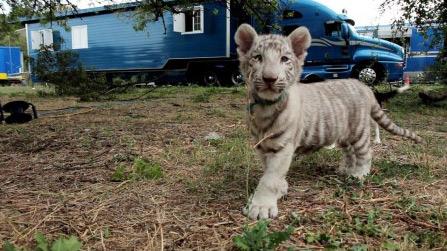 La vie des gens du cirque, les artistes de la famille Falck, Bouglione et Gruss : un beau bébé tigre ;)